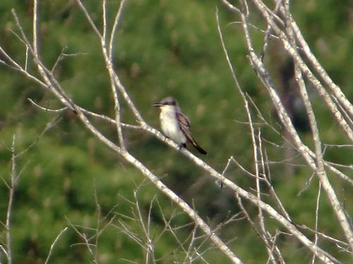 Gray Kingbird | by magnificentfrigatebird