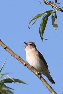 2014 05 05_Garden Warbler