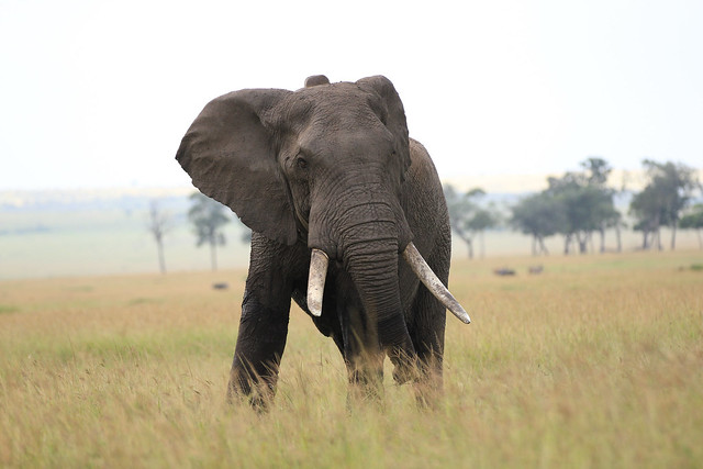 Huge male elephant, injured and angry - He was shot by a poisoned arrow when he was trampling fields outside the reserve.