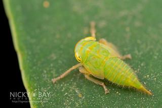 Leafhopper (Tartessinae) - DSC_6079