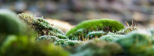 macro green landscape moss nikon hungary 18105 d90 csongrad ásotthalom mechuakapradí