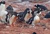 Gentoo Penguin (Pygoscelis papua) by Mark Carmody