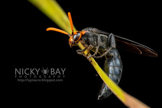 Scoliid Wasp (Scoliidae) - DSC_6610   by nickybay