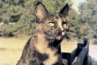 Brindle Cat, 1981