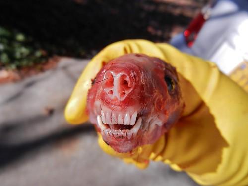 bag nose skull hand head muscle teeth northcarolina skunk greenville canines incisors cartilage stripedskunk mephitismephitis gelatheskunk