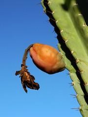 Peruvian Torch Fruit