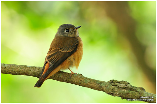 Ferruginous Flycatcher | by oLDcaR