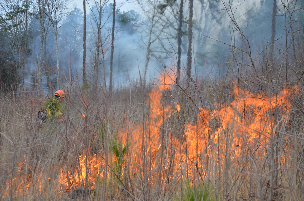 Controlled burn to restore mountain longleaf pine in north