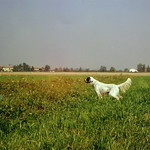 DAYAN - In ferma su fagiano nella campagna reggiana.