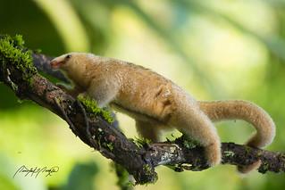 Silky Anteater   by Quinten Questel