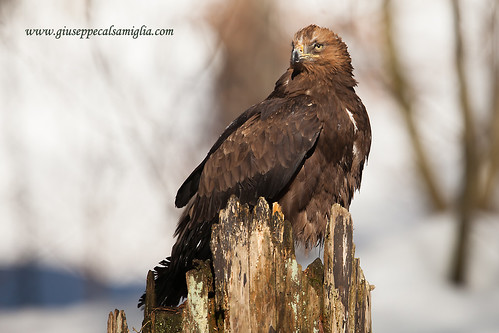 Bird-of-prey (golden eagle) | by gcalsa