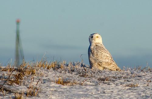 bird nature sunrise snowy owl manualfocus birdofprey uncommon downsviewpark manualfocusing tokinasl400mmf56sd