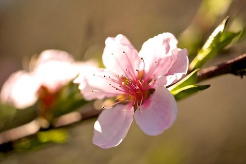 flowers trees nature outdoors newjersey nikon bokeh cherryblossoms macrophotography floweringtrees flowermacro sigmalenses bokehlicious nikond700 sigmamacrolenses aperture3 iamnikon sigma105mmf28exdgoshsmmacro