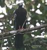 Trinidad Piping-guan (Pipile pipile) by mountainpath2001