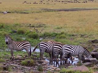 Zebra Drinking hole - Masai Mara Kenya 2005