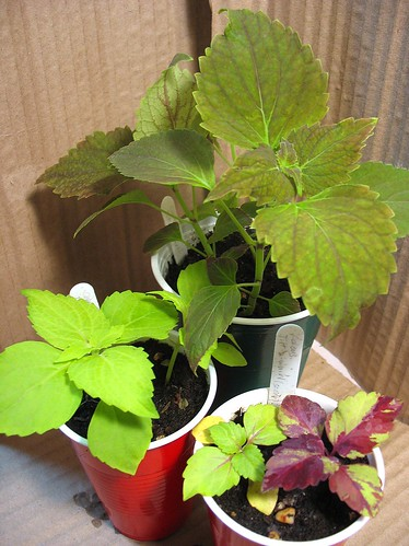 Coleus 'Tilt-a-Whirl' (Cuttings and Hybrids) | by joeysplanting