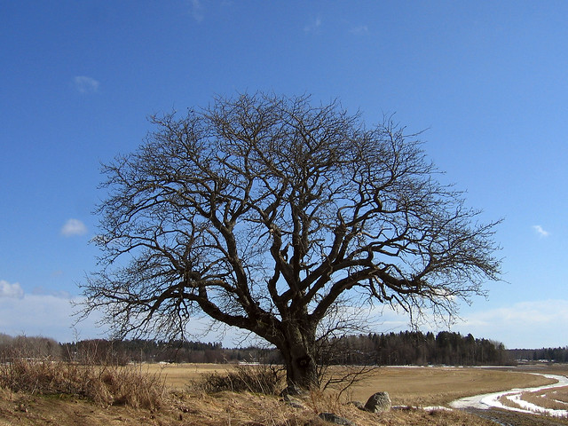 That old tree (week 14, 2006)