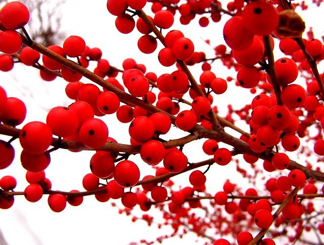 ilex winterberries 2