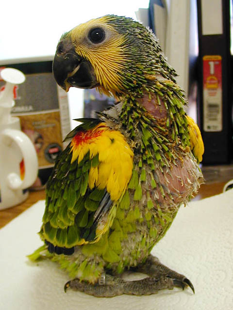 Baby Beemer Blue Fronted Amazon I Love This Pose Bob Flickr