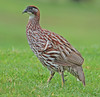 Erckel's Francolin by hearman