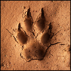 Coyote Track | by mhawkins