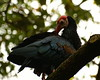 Southern bald ibis by marvels of nature