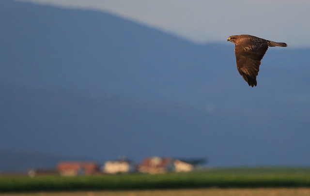 Buse variable - Saint-Aubin/Fribourg/CH_20150413_010-1