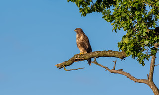 Early Evening Buzzard | by www.craigrogers.photography