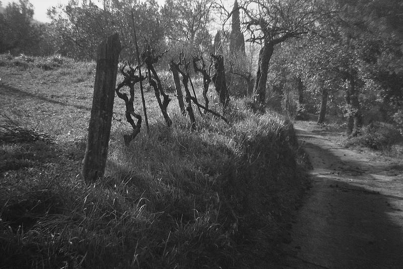 grape vines, dirt roadway, long shadows, Cortona, Tuscany, Italy, Bencini Koroll 24S, Ilford FP4+, Moersch Eco Film Developer, late December 2016
