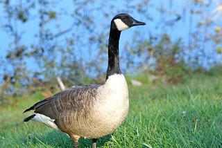 Canada Goose (Branta canadensis) | by retewphoto