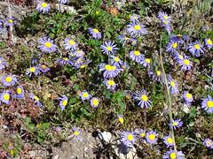 Spring flowers. Felicia tenella