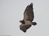 Black-chested Buzzar-Eagle, Ite by hogsas