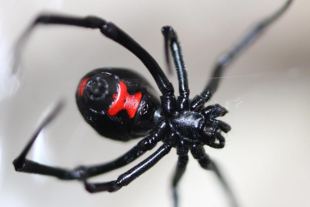 Mérgező állatok: A fekete özvegy