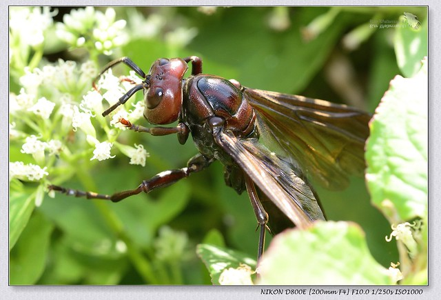 Brown paper wasp/Emperor paper wasp (Polistes gigas; 棕馬蜂)