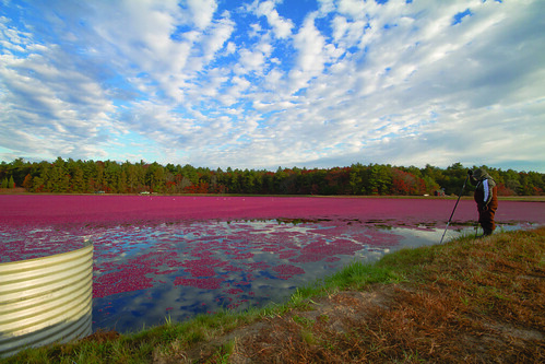 farm massachusetts harvest cranberry wareham cranberrybog plymouthcounty makepeacefarms