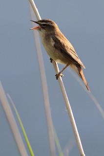 2014 05 20_Sedge Warbler