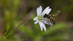 SI - June 14, 2013; A Very Small Wasp