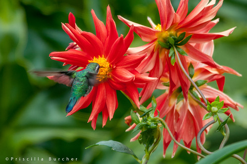 Hummingbird & dahlias | by PriscillaBurcher