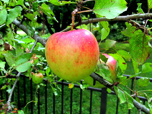 reddish apple on tree,  13 Sept 2013 | by mwms1916