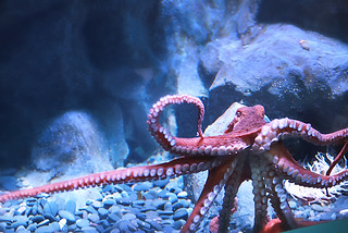Giant Pacific Octopus | by vidalia_11