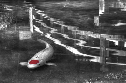 california fish reflection monochrome pond raw waves fav50 saratoga koi hdr hakonegardens photomatix 1xp nex6 sel50f18 japanespond
