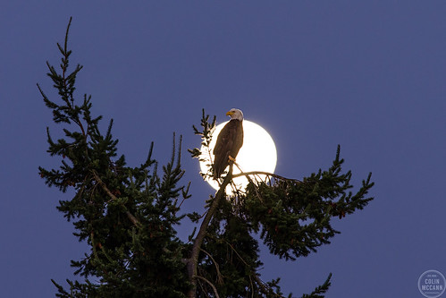 park morning moon bird beach silhouette night sunrise dawn eagle bald american raptor prey daybreak islandview