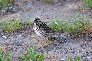 Savannah Sparrow at Hayden Valley IMG_5558 | by grebberg