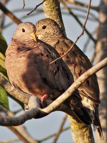 Common Ground-Doves 2-20131004