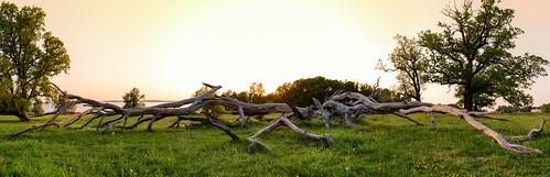 sunset tree oak sweden uppsala ek sverige träd solnedgång uppland treelog morgahage uppsalalän canonef24mmf14liiusm canoneos5dmarkiii