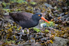 Black Oystercatcher Showing Me His Good Side by jeff_a_goldberg