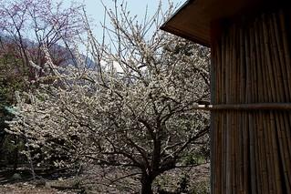 IMG_9872竹籬笆外的春天 | by DTlady