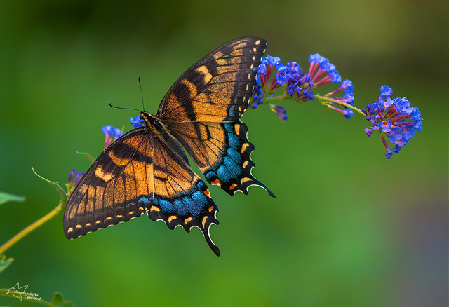 Yellow Swallowtail 7_13