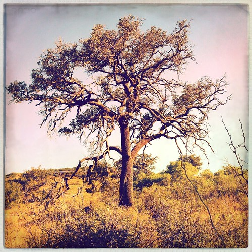 favorite tree texture nature landscape mobilephotography solotree iphoneography hipstamatic lucasab2lens purehipstamatic hipstaweekly robustafilm grittyluke hwlucasab2