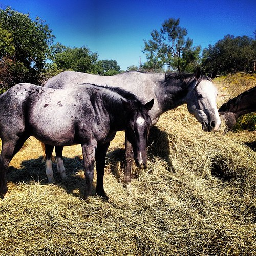 horses square grey lofi squareformat blueroan tntranch iphoneography instagramapp cowboy4sale horse4sale tnthorses greathorseforsale